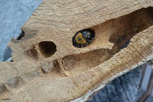 熊蜂 クマンバチ クマバチ 巣 carpenter_bee