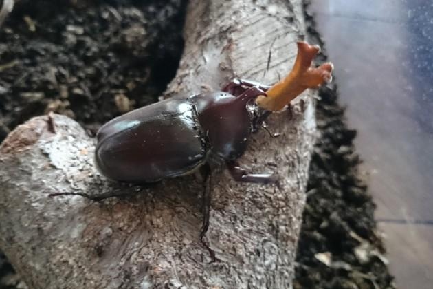 カブトムシ 蛹 孵化