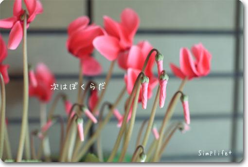 シクラメン開花