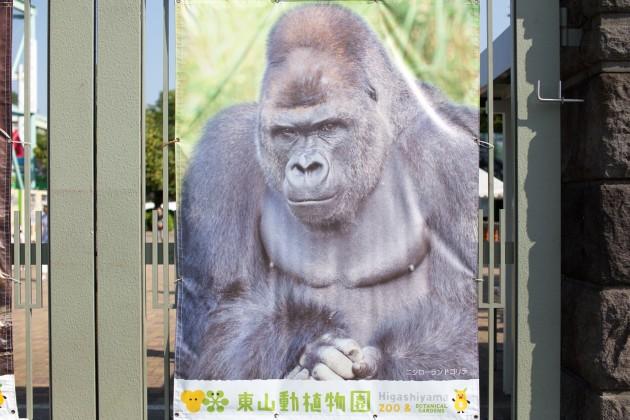 東山動物園 ゴリラ シャバーニ