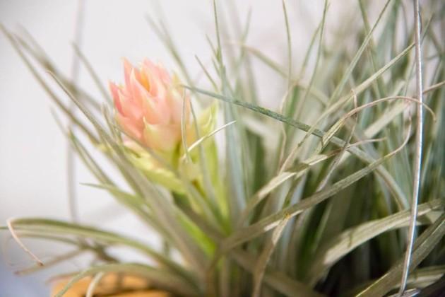 エアプラント 花 観葉植物 吊るす